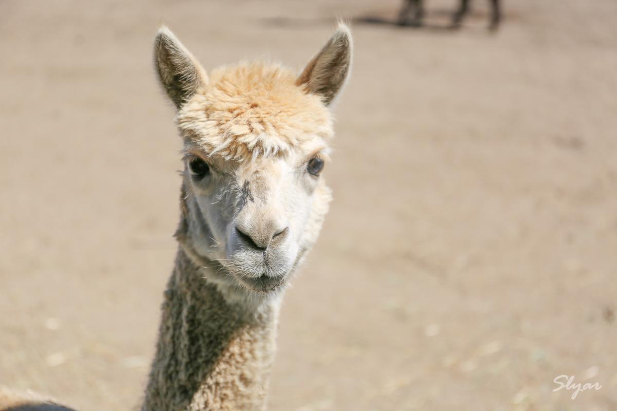 San Diego 圣地亚哥农场看羊驼Alpaca